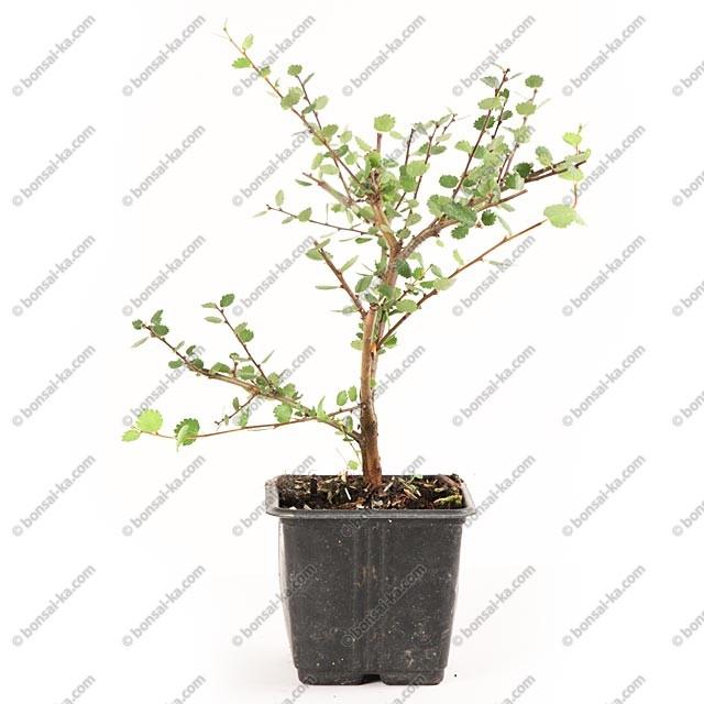 Nain De Jardin Miniature = Bouleau nain betula nana jeune plant 2 ans – bonsai-ka