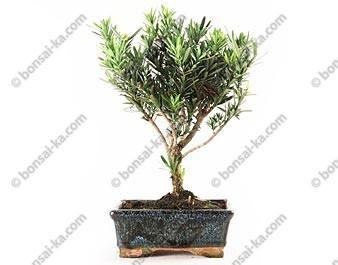 Pin des bouddhistes podocarpus microphyllus bonsaï 30 cm 5 ans