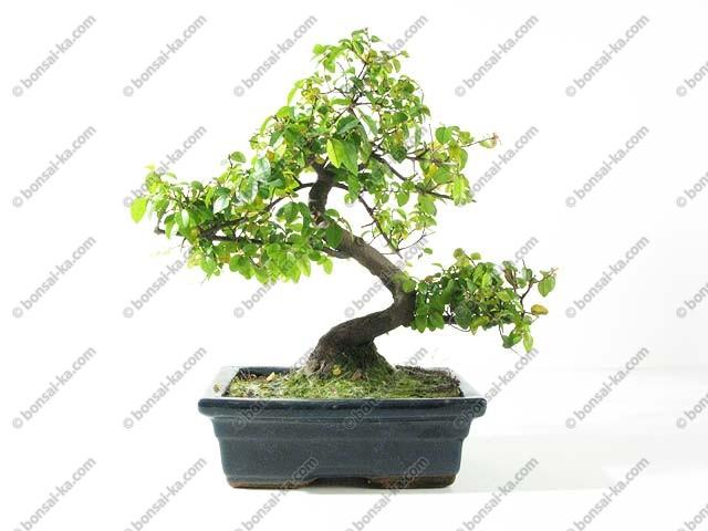 ... thé sageretia theezans bonsaï dintérieur 30 cm 8 ans - bonsai-ka