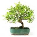 Pistachier bonsaï pistacia lentiscus 30 cm 6 ans