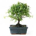 Arbre a thé sageretia theezans bonsaï d'intérieur 25 cm 5 ans