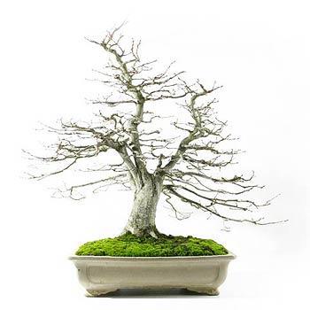 fiche de culture et d 39 entretien du charme en bonsa bonsai ka. Black Bedroom Furniture Sets. Home Design Ideas