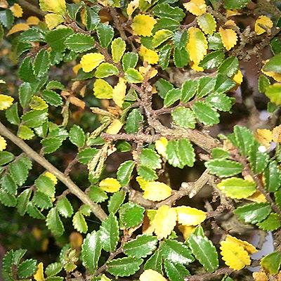 Mon bonsai pert ses feuilles que faire bonsai ka - Mon olivier perd ses feuilles ...