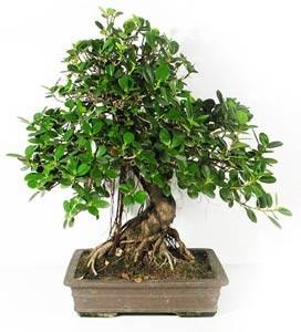 Fiche de culture et d 39 entretien du ficus en bonsa bonsai ka for S occuper d un citronnier en pot