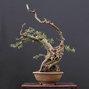 fiche de culture et d 39 entretien de l 39 olivier en bonsa bonsai ka. Black Bedroom Furniture Sets. Home Design Ideas