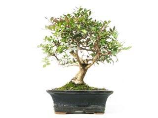fiche de culture et d 39 entretien du pistachier lentisque en bonsa bonsai ka. Black Bedroom Furniture Sets. Home Design Ideas