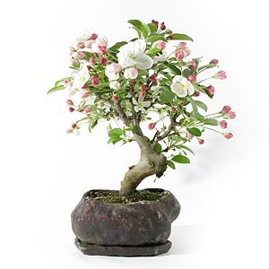 fiche de culture et d 39 entretien du pommier en bonsa bonsai ka. Black Bedroom Furniture Sets. Home Design Ideas