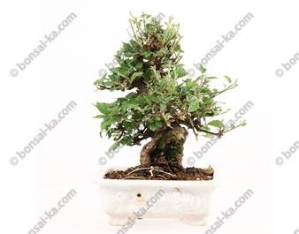 Viorne viburnum dilatatum shohin bonsaï import Japon 2015 ref.15312