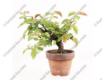 Cognassier de Chine pseudocydonia sinensis import Japon 2015 ref.15314