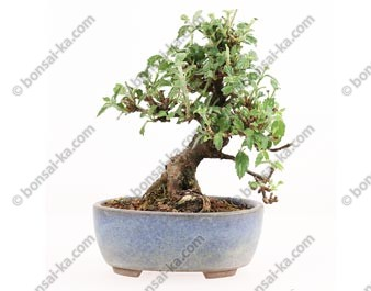 Viorne viburnum dilatatum mame bonsaï import Japon 2015 ref.15332