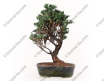 Faux-cyprès du Japon Hinoki chamaecyparis obtusa bonsaï 33 cm ref.16061