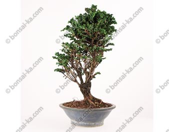 Faux-cyprès du Japon Hinoki chamaecyparis obtusa bonsaï 39 cm ref.16068