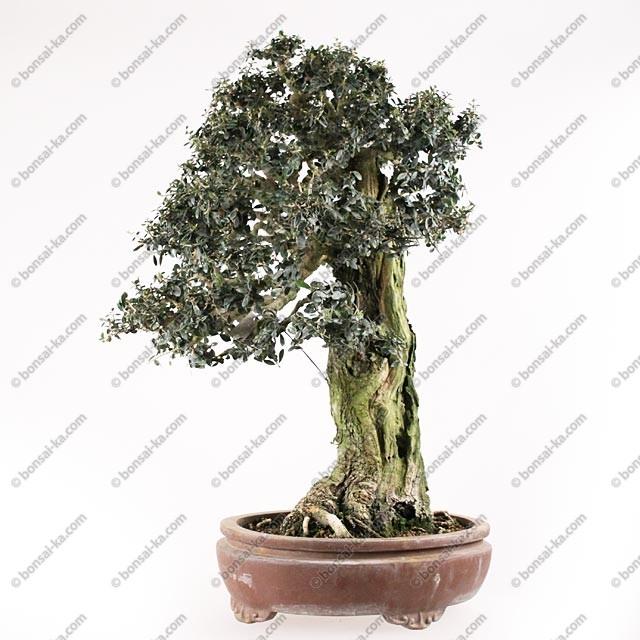 Olivier sauvage bonsa sp cimen olea europaea sylvestris yamadori 60 cm bonsai ka - Olivier olea europaea prix ...