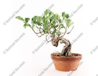 Celastrus orbiculatus bonsaï import Japon 2016 ref.16257