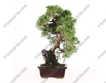 Juniperus chinensis sur roche shohin 23 cm import Japon ref.17052