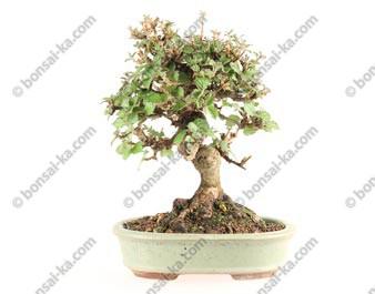 Viorne viburnum dilatatum shohin bonsaï 18 cm ref.17060