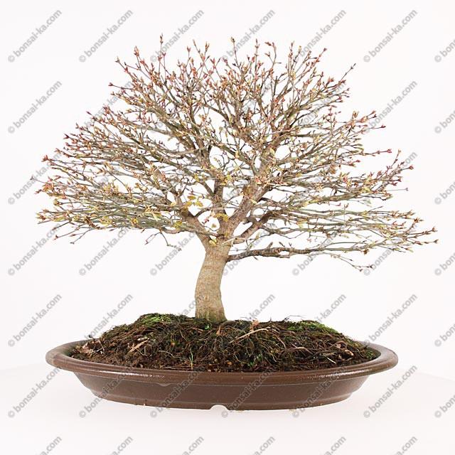 rable du japon kashima 33 cm import japon 2017 bonsai ka. Black Bedroom Furniture Sets. Home Design Ideas