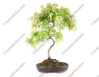 Erable du Japon acer palmatum Yamamomiji  22 cm ref.17066