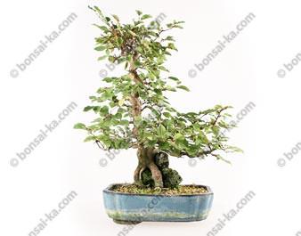 Charme de Corée carpinus coreana bonsaï sur roche 37 cm ref.17067