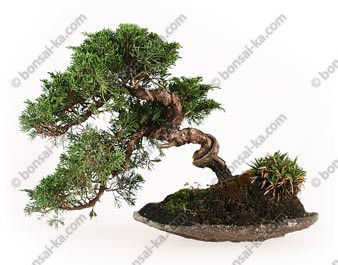 Juniperus chinensis 29 cm import Japon ref.17074