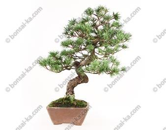 Pin blanc du Japon pinus parviflora bonsaï 46 cm ref.17080