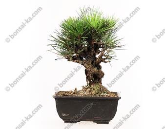 Pinus thunbergii corticosa prébonsaï import Japon 20 cm ref.17111