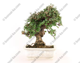 Viorne viburnum dilatatum shohin bonsaï 20 cm import Japon 2017 ref.17207