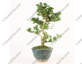 Adina pilulifera shohin bonsaï 33 cm import Japon 2017 ref.17334