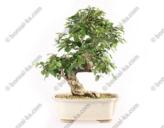 Charme de Corée carpinus coreana bonsaï 45 cm import Corée 2017 ref.17339