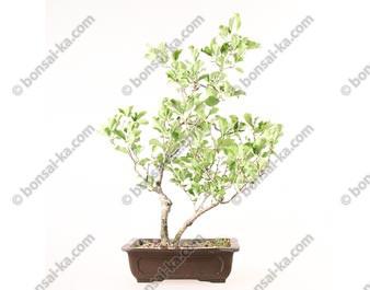 Celastrus orbiculatus bonsaï 58 cm import Japon ref.17340