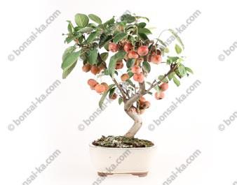 Pommier Van Eseltine bonsaï 36 cm ref.17389