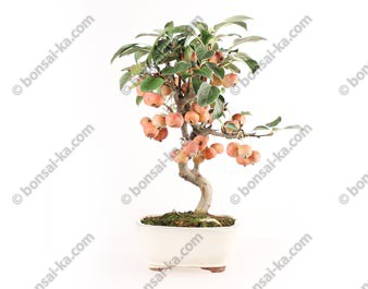 Pommier Van Eseltine bonsaï 36 cm ref.17390