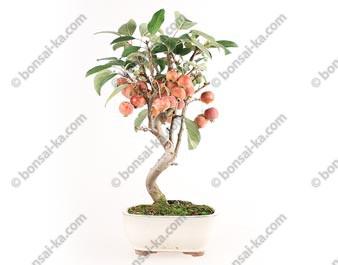 Pommier Van Eseltine bonsaï 38 cm ref.17391