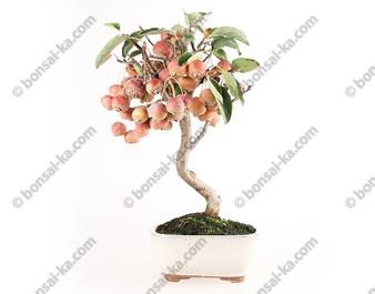 Pommier Van Eseltine bonsaï 38 cm ref.17393
