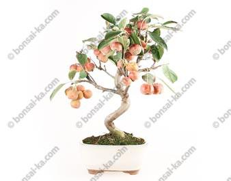 Pommier Van Eseltine bonsaï 38 cm ref.17394