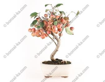 Pommier Van Eseltine bonsaï 36 cm ref.17395
