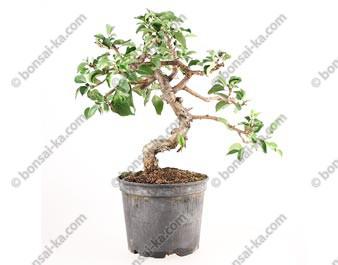 Cerisier de Sainte-Lucie prunus mahaleb prébonsaï 30 cm ref.17410