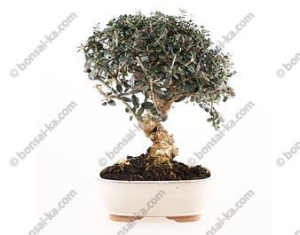 Olivier sauvage bonsaï olea europaea sylvestris 32 cm ref.17421