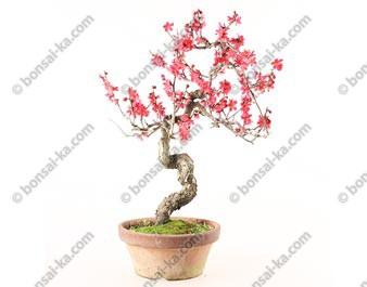 Prunus Mume abricotier du Japon prébonsaï 38 cm ref.18001