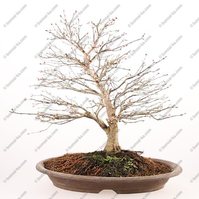 rable du japon kashima 40 cm import japon 2018 bonsai ka. Black Bedroom Furniture Sets. Home Design Ideas