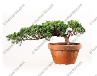 Juniperus chinensis prébonsaï 42cm import Japon ref.18070