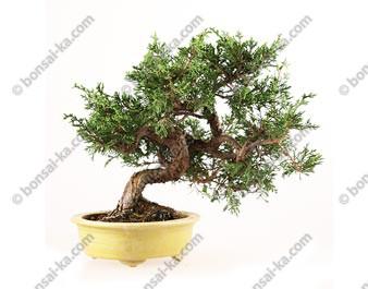Juniperus chinensis bonsaï 27 cm import Japon ref.18104