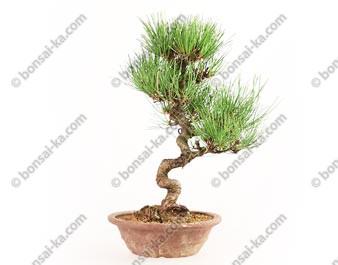 Pin rouge du japon (pinus densiflora) bonsaï import Japon 32 cm ref.18122