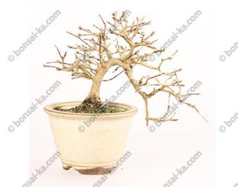Premna japonica Nioi Kaede shohin bonsaï 20 cm import Japon 2018 ref.18139