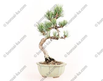 Pin blanc du Japon pinus pentaphylla bonsaï 24 cm cm ref.18140