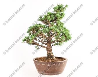 Pin blanc du Japon pinus parviflora bonsaï 45 cm ref.18147