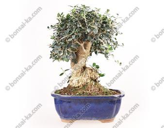 Olivier sauvage bonsaï olea europaea sylvestris 33 cm ref.18189