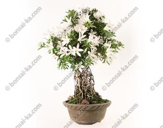 Azalée satsuki Seiko Rhododendron Indicum neagari bonsaï import 2018 ref.18234