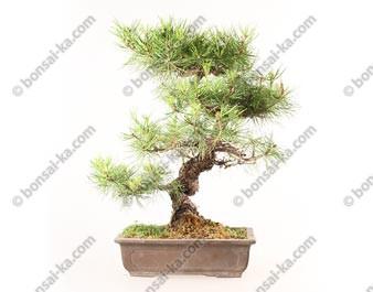 Pin rouge du japon pinus densiflora bonsaï import Japon 51 cm ref.18281