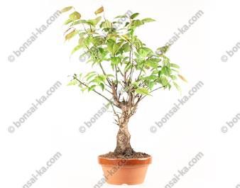 Prunus Mume abricotier du Japon prébonsaï floraison rose 30 cm ref.18349
